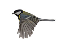 Great Tit In Flight On White