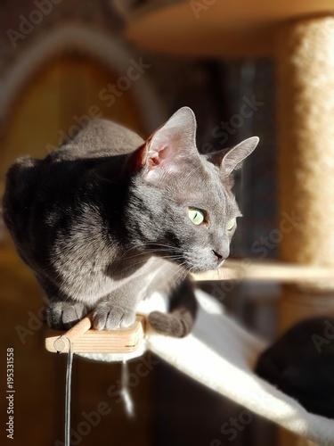 Un korat assis sur son arbre à chat Wallpaper Mural