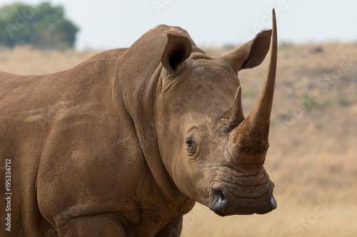 Fotografia, Obraz White Rhino South Africa