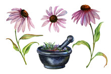 Watercolor Echinacea And Morta...