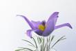 Blüte einer Küchenschelle vor weißem Hintergrund