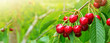 Leinwandbild Motiv Cherries hanging on a cherry tree branch.