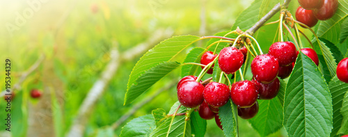 In de dag Vruchten Cherries hanging on a cherry tree branch.