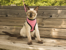 Young Siamese Cat In A Pink Ha...