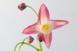 Blüte einer Elfenblume / Epimedium vor weißem Hintergrund