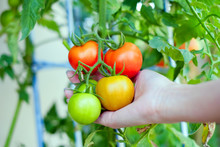 Asian Women's Arm Holding Branch Of Red Yellow And Green Tomatoes