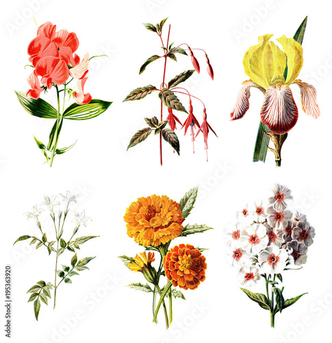 Foto  Vintage Colored Flower Illustrations - Hand Painted Illustrations of Flowers and