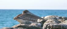California Brown Pelican Roost...