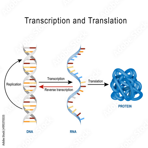 DNA Replication, Protein synthesis, Transcription and translation Wallpaper Mural