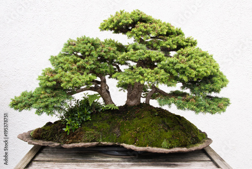 Foto op Aluminium Bonsai Bonsai Tree Growing in a Pot