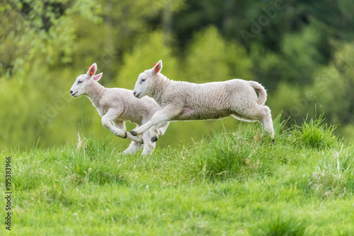 Poster de jardin Sheep Young lambs
