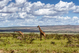 Fototapeta Sawanna - African giraffes in the grasslands