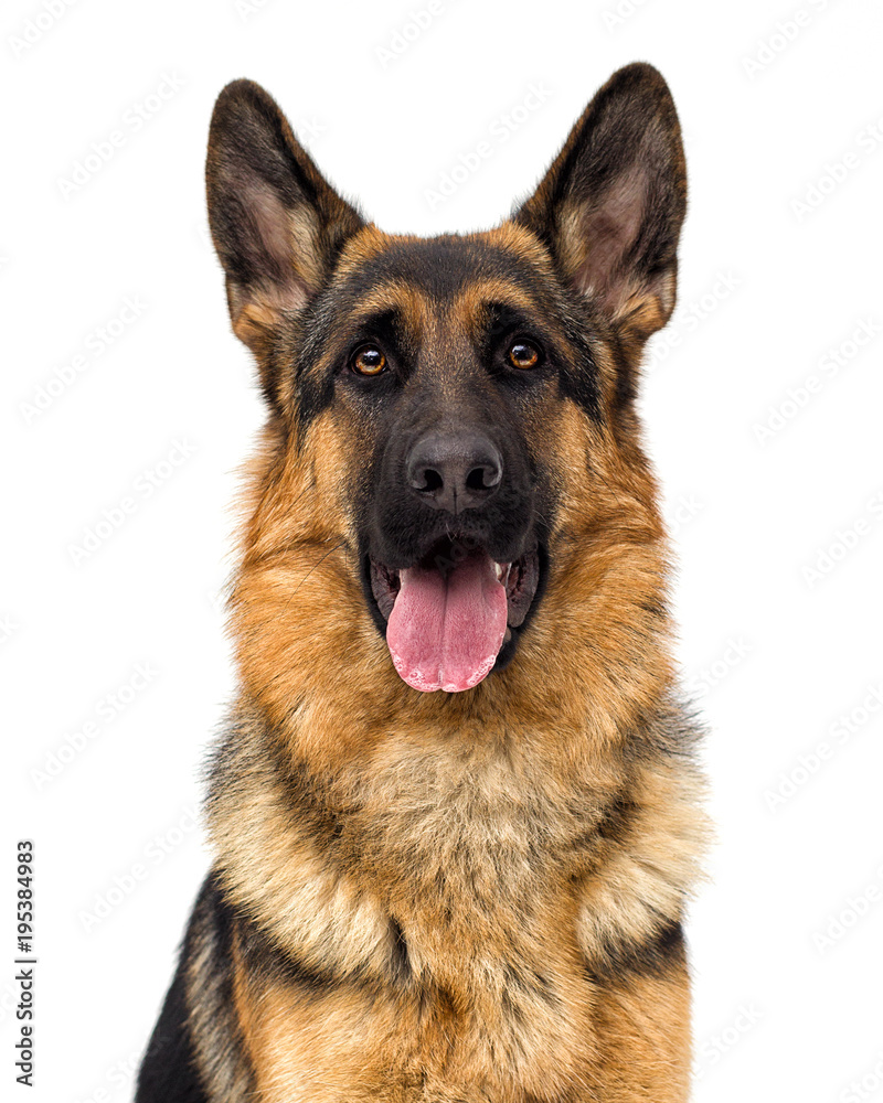 portrait of a German shepherd dog on a white background isolated
