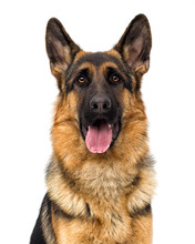 Portrait Of A German Shepherd ...