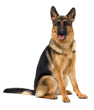 German Shepherd Dog In Full Gr...