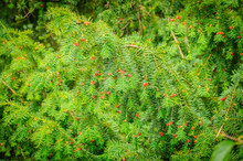 European Yew Taxus Baccata Is ...