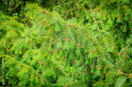 Fotografia European yew Taxus baccata is a conifer native to western, central and southern Europe, northwest Africa, northern Iran and southwest Asia