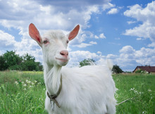 Close-up White Goat Grassing On Green Meadow Field At Village