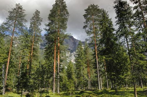 Valokuvatapetti Scots pine forest