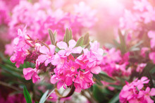 Blooming Pink Oleander Flowers...