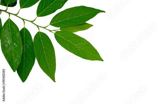Fototapeta Custard apple leaves isolated on white  background. obraz na płótnie