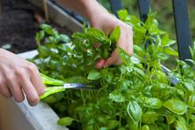 Home Gardening, Cutting Herbs ...