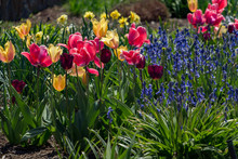 Tulips, Daffodils And Blue Bel...