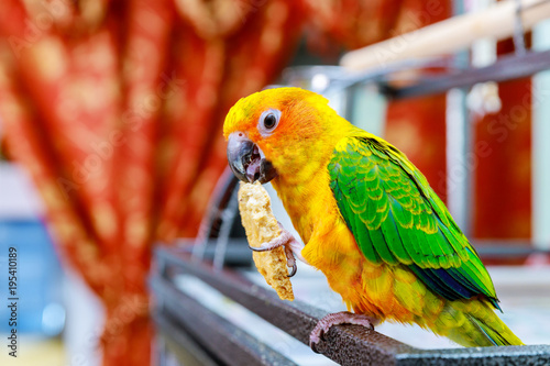 beautiful colorful sun conure wild parrot eating cookie