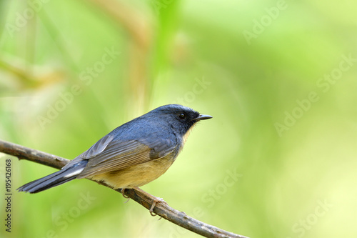 Photo Stands Roe Male of Japanese thrush (Turdus cardis) Amazed black stripe bird with white belly yellow beaks and legs standing on messy ground showing its back feathers profile