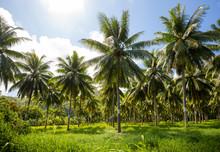 Coconut Field In Tahiti French...