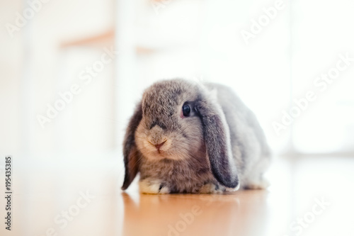 Leinwand Poster cute Baby Holland lop rabbit