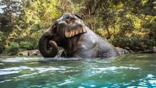 Wild Elephant Playing And Bath...
