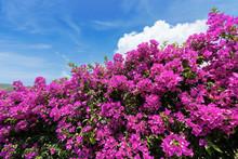 Violet Bougainvillea Flowers O...