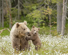 Brown Bear Cub Stands Against ...