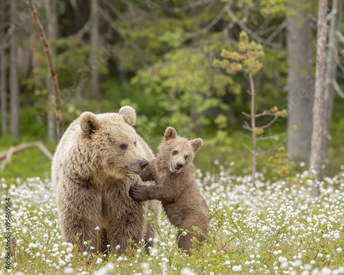 Brown bear cub stands against the mother bear in the middle of the cotton grass on a Finnish bog