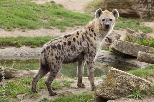 Canvas Prints Hyena Spotted hyena (Crocuta crocuta)