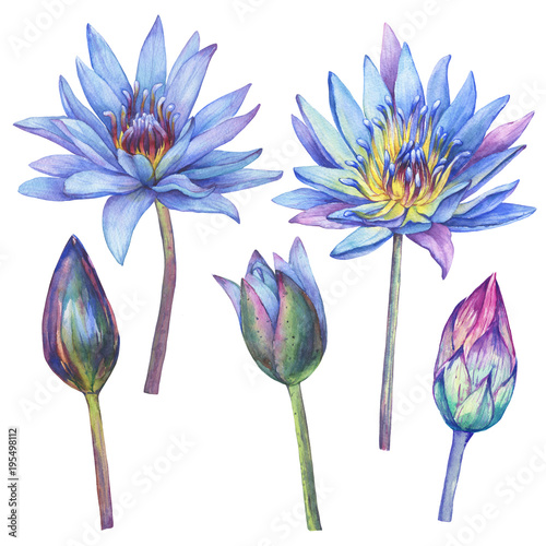 Set With Flowers Blue Egyptian Lotus Water Lily Nymphaea Caerulea