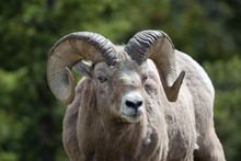 Old Rocky Mountain Sheep Ram F...