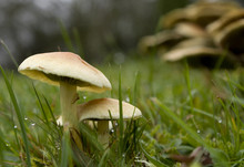 Dew Mushrooms In Grass