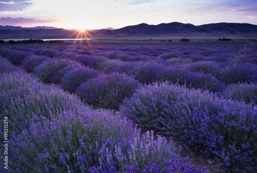 Photo Stands Eggplant Lavender Field at Sunset