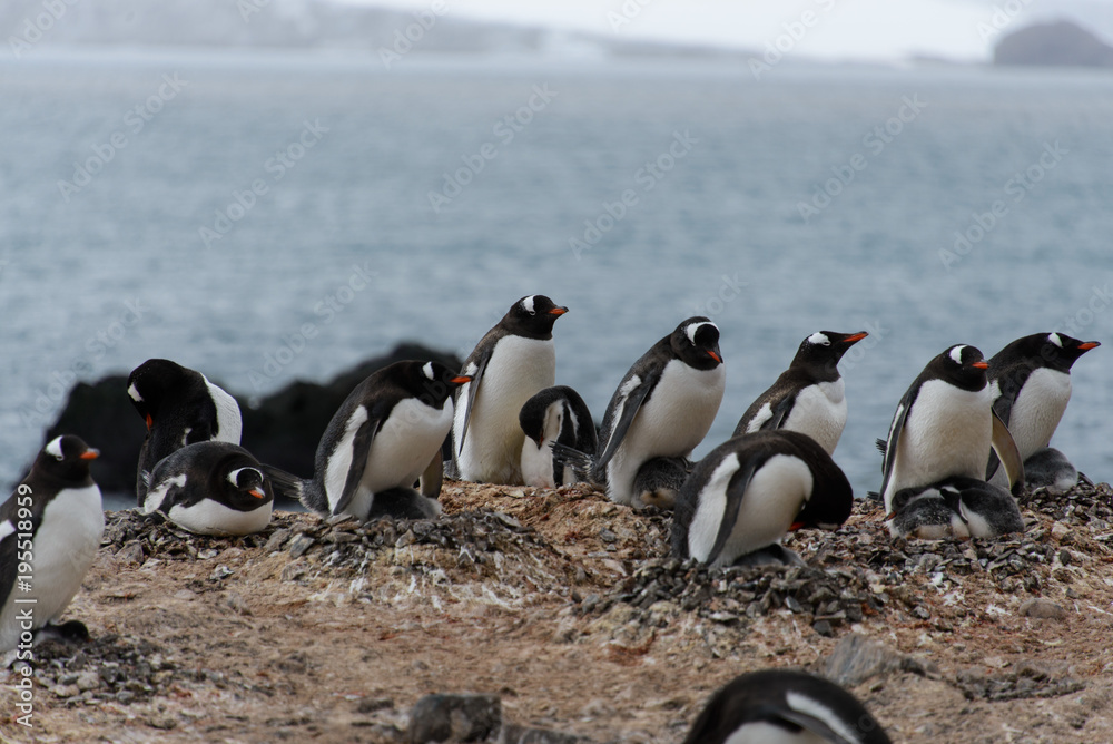 Gentoo penguins with chicks in nest