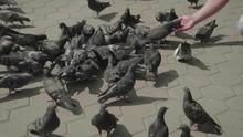 Flock Of Pigeons Near Hand Fee...