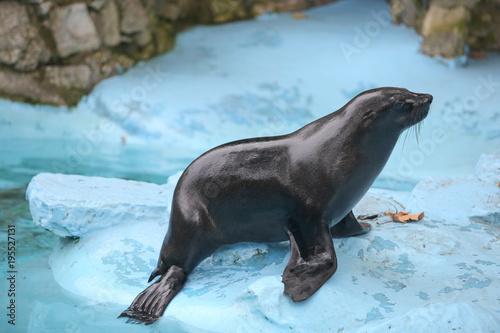 Fototapeta premium Mokra foka stojąca obok wody w zoo