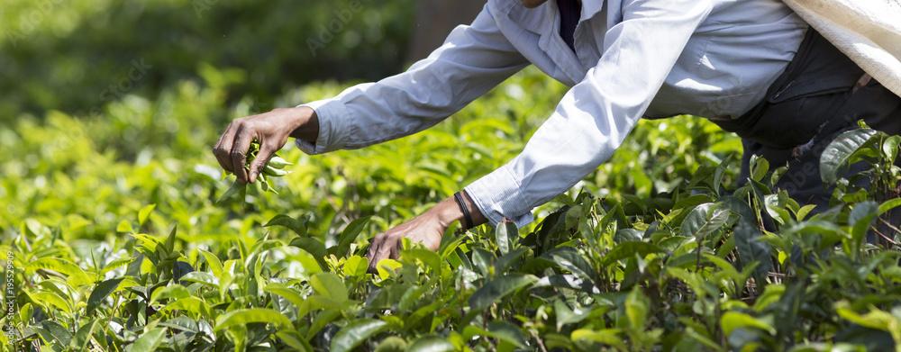 Fototapety, obrazy: Tea picker working on plantation in Sri Lanka