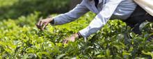 Tea Picker Working On Plantati...
