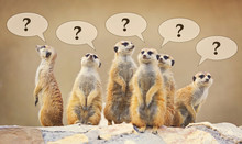 Group Of Watching Surricatas With Question Marks