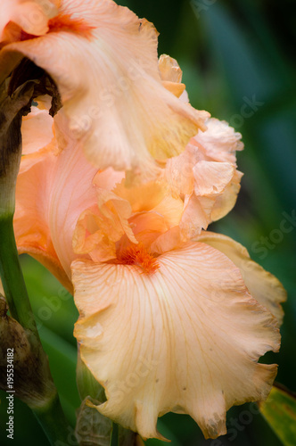 Closeup of a blooming pink or peach color bearded iris flower in the botanical garden, selective focus