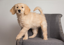 Golden Doodle Puppy Standing On Chair