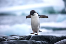 An Antarctic Adelie Penguin Ju...