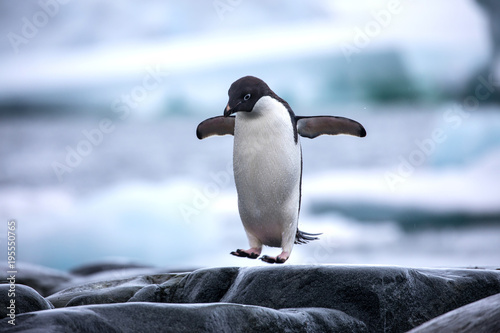 In de dag Pinguin An antarctic Adelie penguin jumping between the rocks